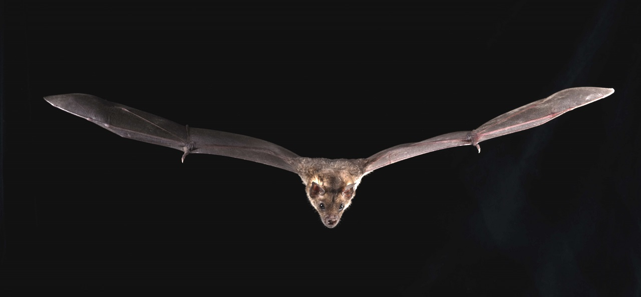 როგორ იტანენ ღამურები მომაკვდინებელ ვირუსებს — გენომური ანალიზები გარკვეულ პასუხებს გვთავაზობს #1tvმეცნიერება