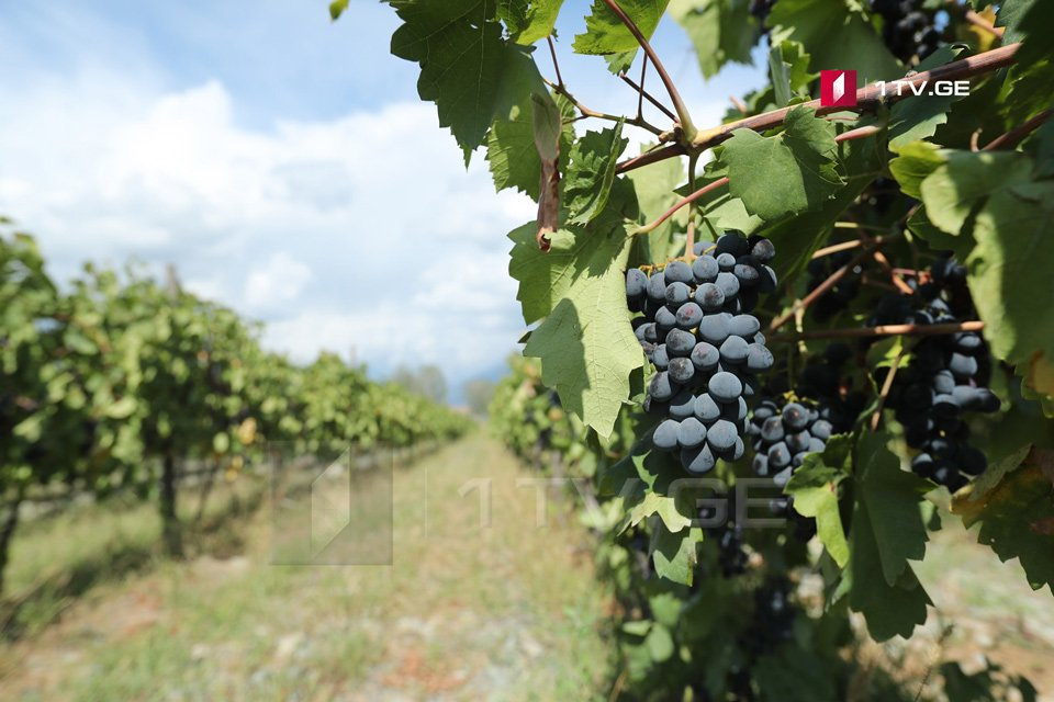 """ღვინის ეროვნული სააგენტო - """"რთველი 2020""""- ის ფარგლებში, გადამუშავებულია 1 800 ტონამდე ყურძენი"""