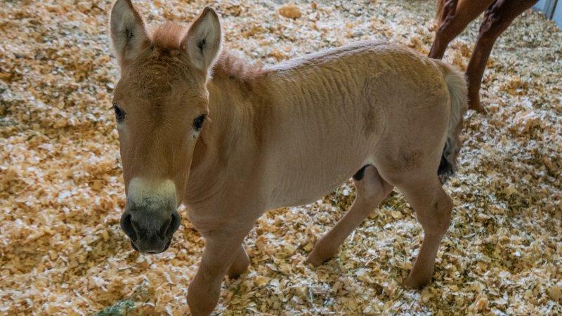 მეცნიერებმა საფრთხის ქვეშ მყოფი პრჟევალსკის ცხენის კლონირება შეძლეს — პირველად ისტორიაში #1tvმეცნიერება