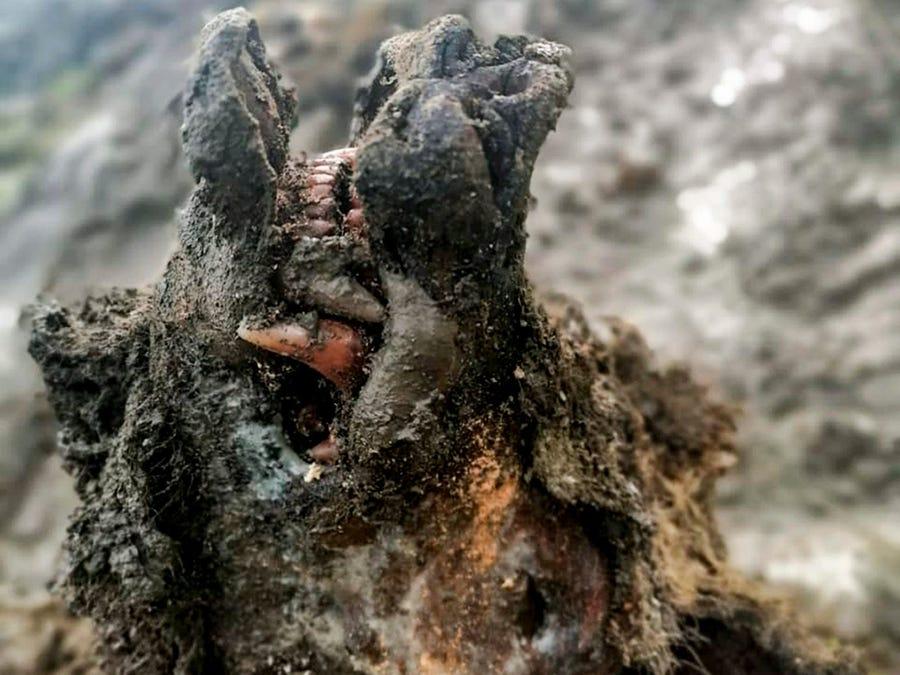 ციმბირის გაყინულ ნიადაგში ამჟამად გადაშენებული, 30 000 წლის წინანდელი მღვიმის დათვი აღმოაჩინეს — #1tvმეცნიერება