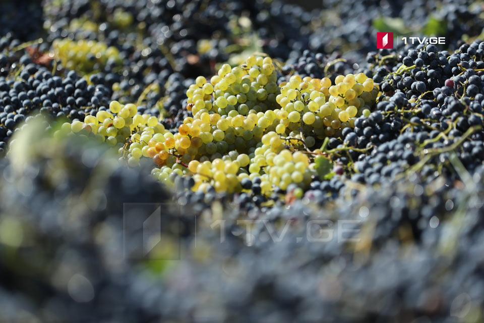"""ღვინის სააგენტოს ინფორმაციით, წელს რაჭაში ღვინო """"ხვანჭკარას"""" სანედლეულო ბაზის, ალექსანდროულისა და მუჯურეთულის უპრეცედენტო რაოდენობას, 2 500 ტონამდე მოსავალს ელოდებიან"""