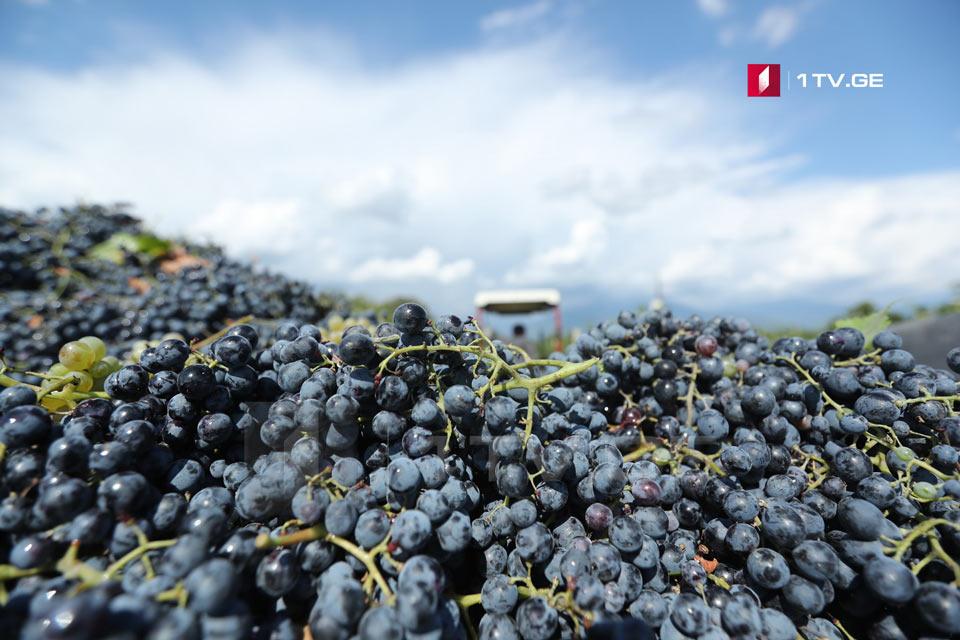 ღვინის ეროვნული სააგენტოს ინფორმაციით, რაჭაში 600 ტონამდე ყურძენია გადამუშავებული