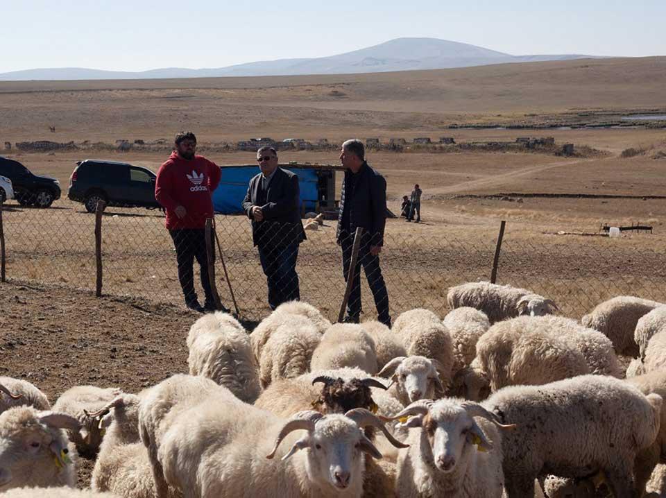 საქართველოდან საუდის არაბეთში ექსპორტირებული ცოცხალი ცხვრის ღირებულება 4.5 მილიონი დოლარით გაიზარდა