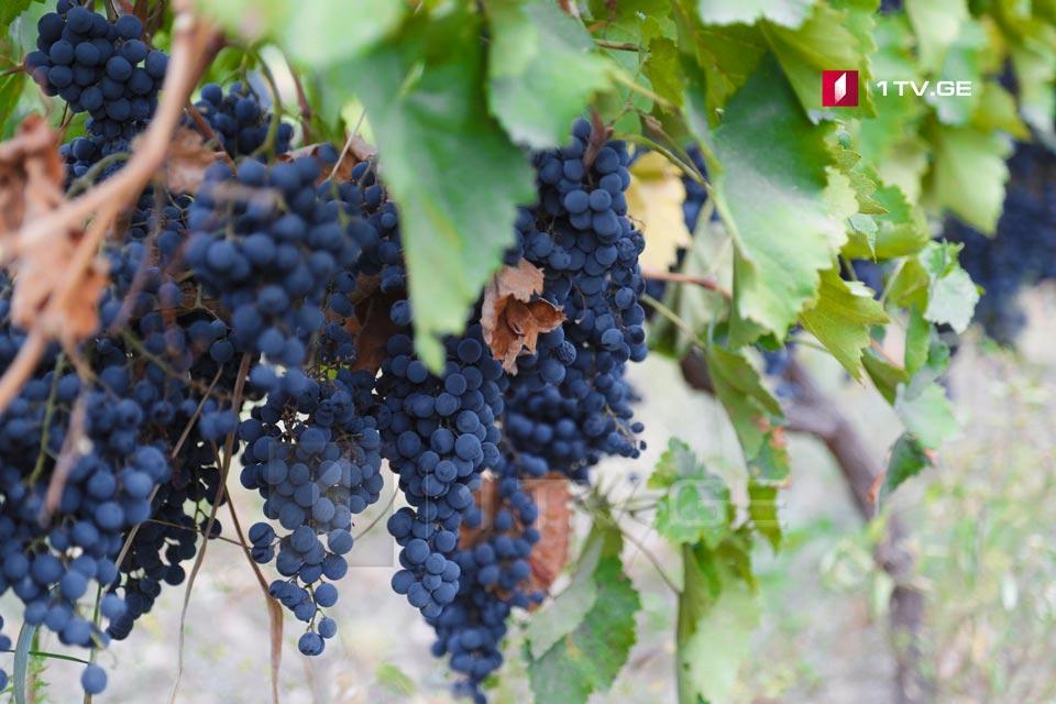 დღევანდელი მონაცემებით,საქართველოში 273 ათას ტონამდე ყურძენია გადამუშავებული