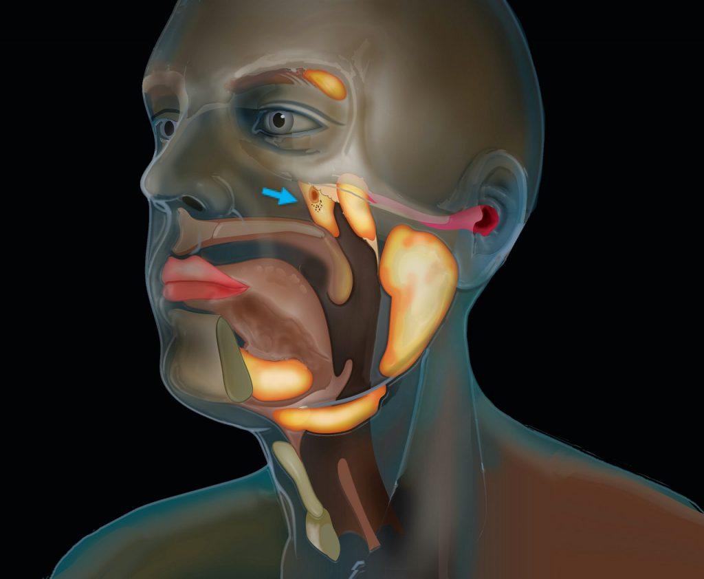 ადამიანის თავში მეცნიერებმა აქამდე უცნობი ორგანო აღმოაჩინეს — #1tvმეცნიერება