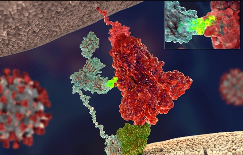 """მეცნიერებმა აღმოაჩინეს მეორე """"გასაღები"""", რომელსაც ახალი კორონავირუსი უჯრედში შესასვლელად იყენებს — #1tvმეცნიერება"""