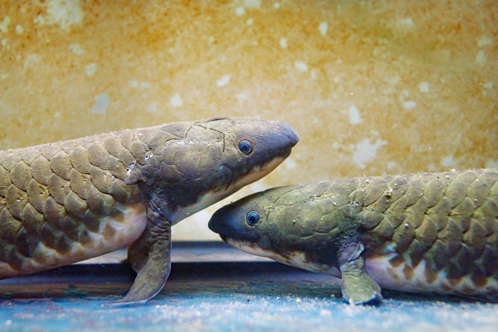 ორგვარადმსუნთქავი თევზების გენომი გვიყვება, როგორ ამოვიდნენ ხერხემლიანები წყლიდან ხმელეთზე — #1tvმეცნიერება