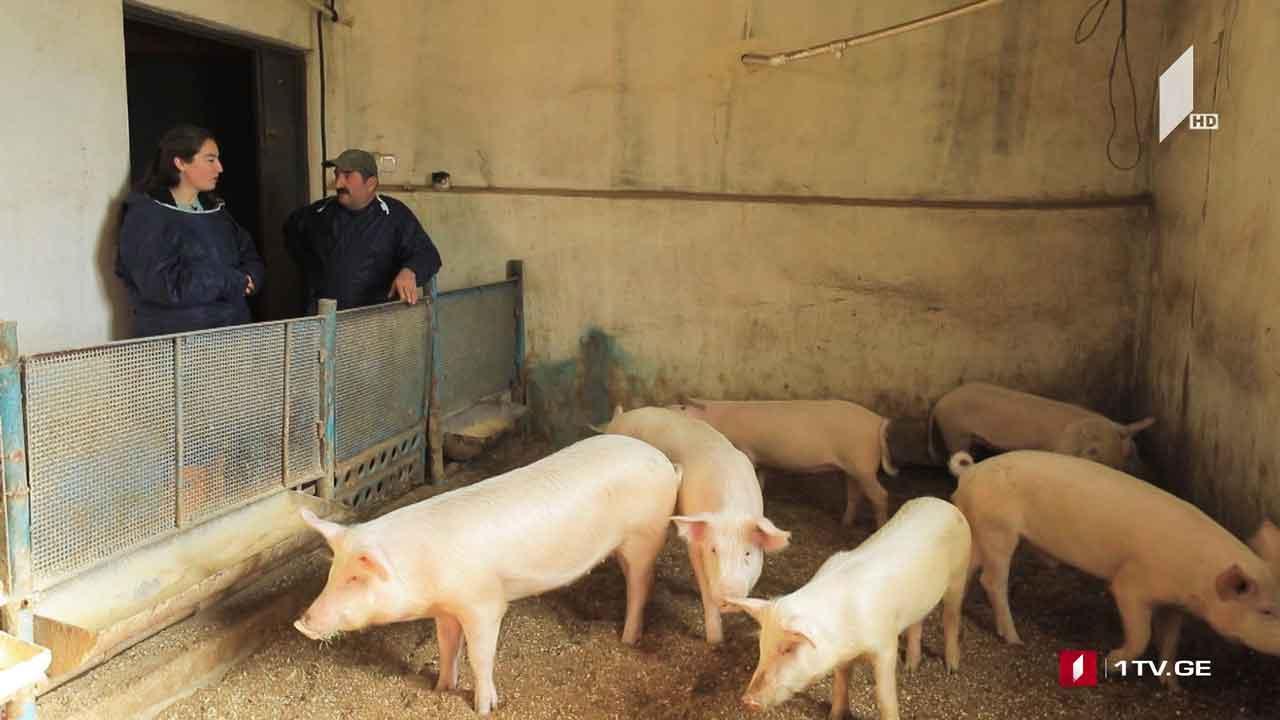თანამედროვე მეღორეობის ფერმა ბოლნისის რაიონში