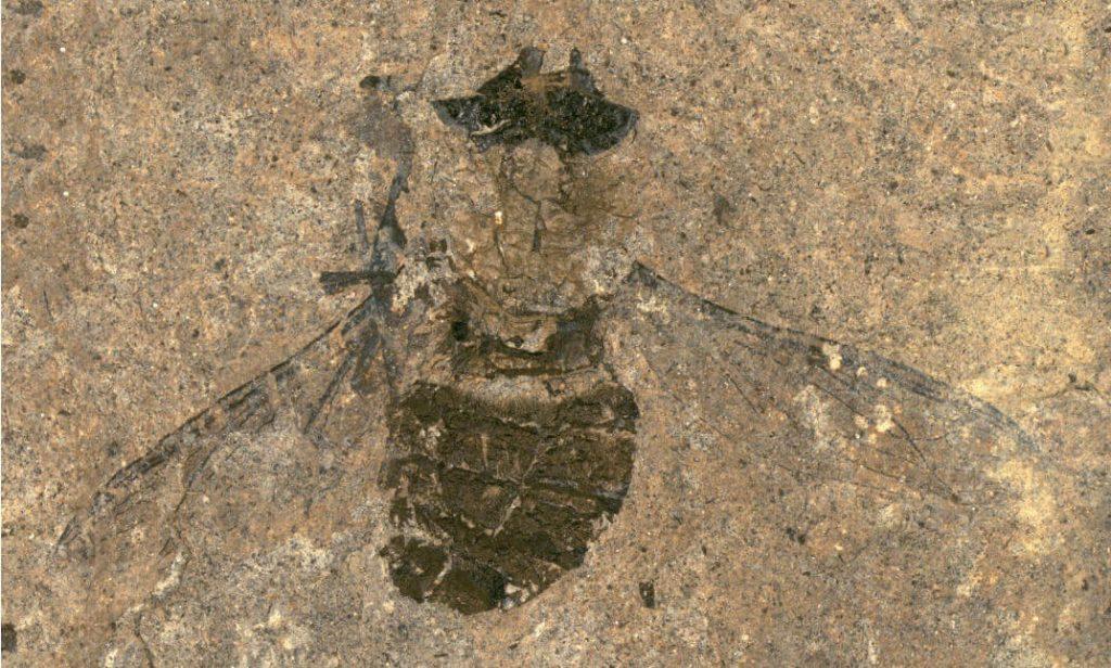 47 მილიონი წლის ნამარხ ბუზს მუცელი ყვავილის მტვრით აქვს სავსე — #1tvმეცნიერება