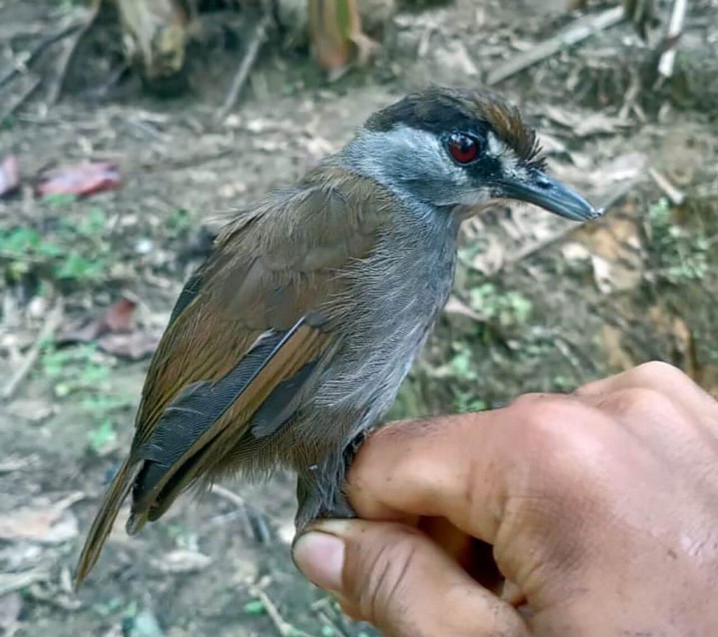 კუნძულ ბორნეოზე აღმოაჩინეს ჩიტი, რომელიც გადაშენებული გვეგონა — #1tvმეცნიერება