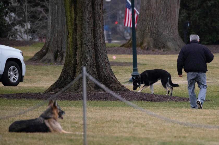 ჯო ბაიდენის ძაღლები თეთრ სახლში დააბრუნეს