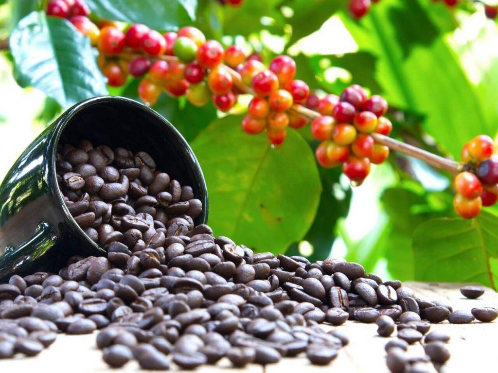 ხელახლა აღმოაჩინეს ყავის ველური, იშვიათი სახეობა, რომელმაც შეიძლება, ყავა გადაშენებისგან გადაარჩინოს — #1tvმეცნიერება
