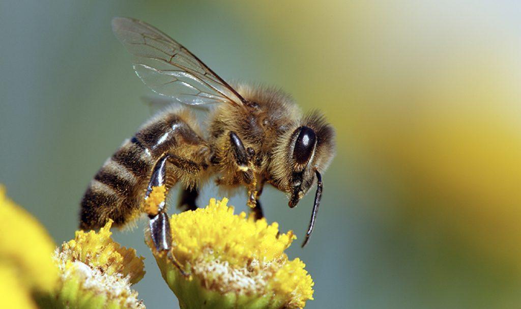 მეცნიერებმა ფუტკრებს COVID-19-ის სუნის წამებში ამოცნობა ასწავლეს — #1tvმეცნიერება