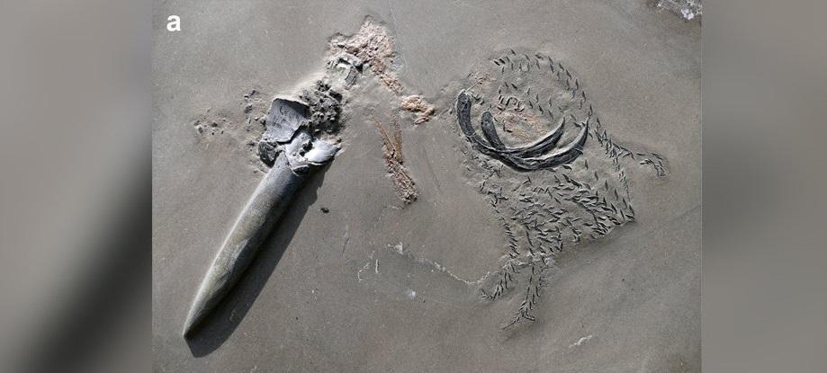 აღმოჩენილია იურული პერიოდის უნიკალური ნამარხი — კალმარი, რომელიც კიბორჩხალას ჭამდა, ამ დროს ზვიგენის მსხვერპლი გახდა #1tvმეცნიერება