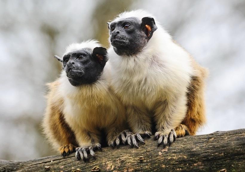 """მეზობლებთან ურთიერთობისთვის, მაიმუნებს """"აქცენტის"""" შეცვლა შეუძლიათ — ახალი კვლევა #1tvმეცნიერება"""