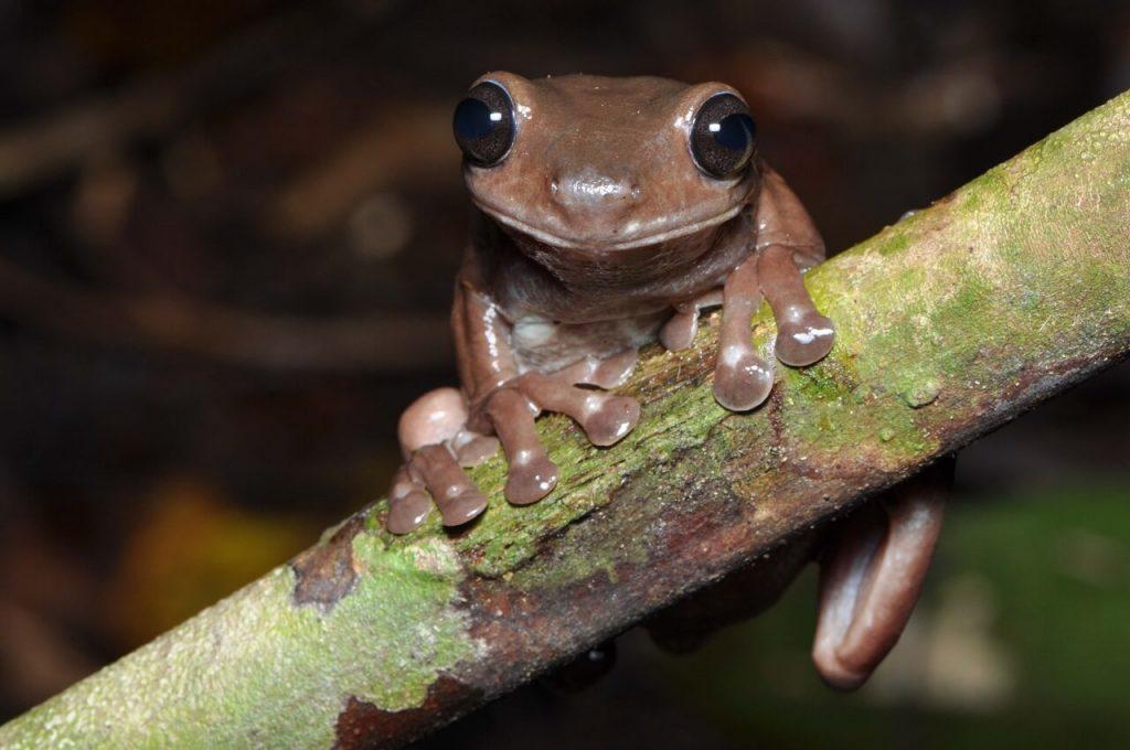 ახალ გვინეაში შოკოლადისფერი ბაყაყის ახალი სახეობა აღმოაჩინეს — #1tvმეცნიერება