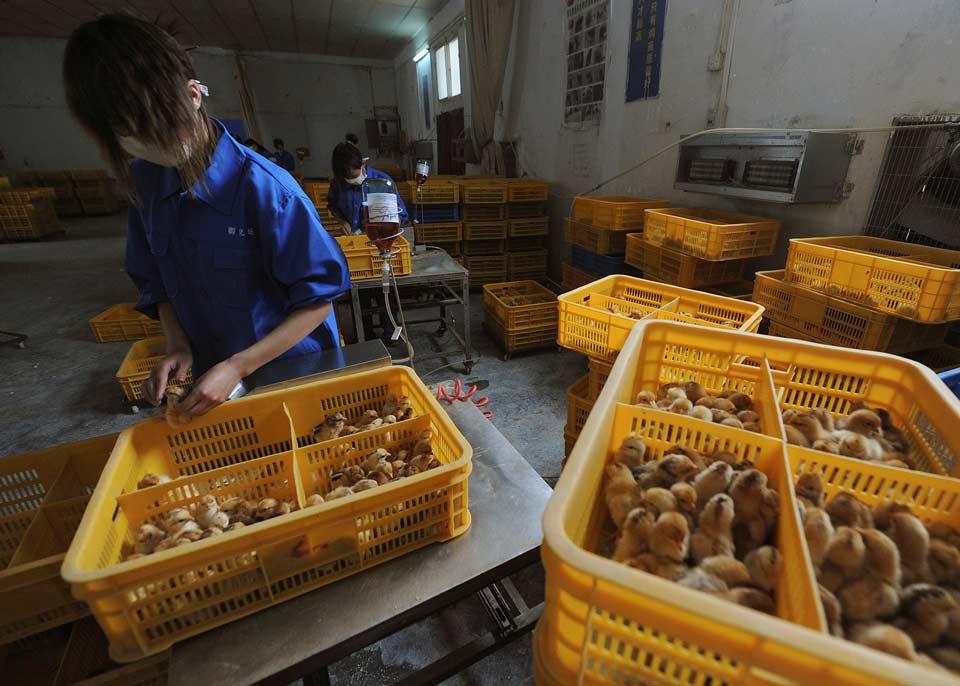 ჩინეთში ადამიანში ფრინველის გრიპის პირველი შემთხვევა გამოვლინდა