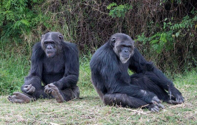ადამიანის მსგავს მაიმუნებს აფრიკაში საცხოვრებელი გარემო მალე საერთოდ აღარ დარჩებათ — #1tvმეცნიერება