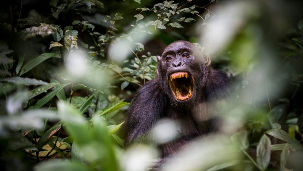 დაფიქსირებულია შიმპანზეების სასიკვდილო თავდასხმა გორილებზე — პირველად ისტორიაში #1tvმეცნიერება