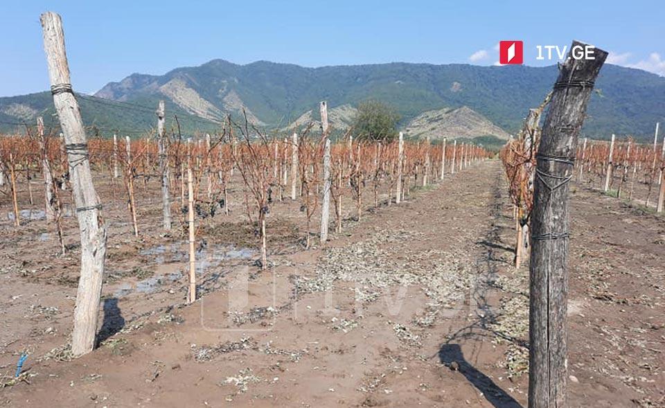 კახეთში სტიქიით დაზარალებული სოფლების მოსახლეობისგან დაზიანებულ ყურძენს სამი ქარხანა ჩაიბარებს
