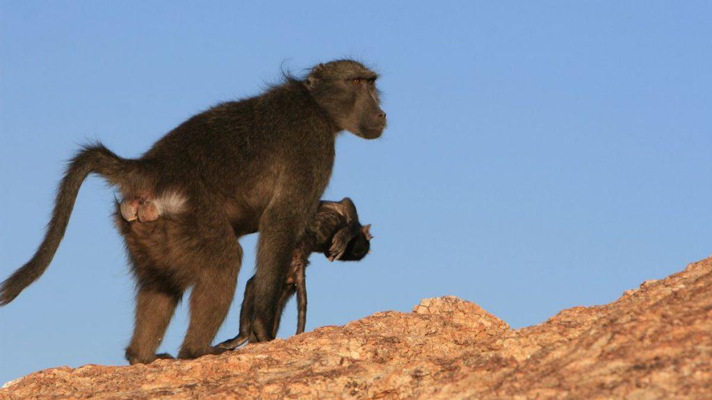 რატომ დაატარებენ დედა მაიმუნები მკვდარ ნაშიერთა სხეულებს — ახალი კვლევა #1tvმეცნიერება